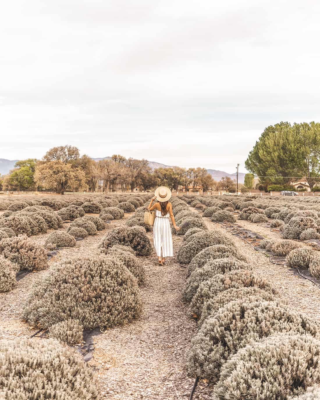 Los Poblanos Lavender Fields 1