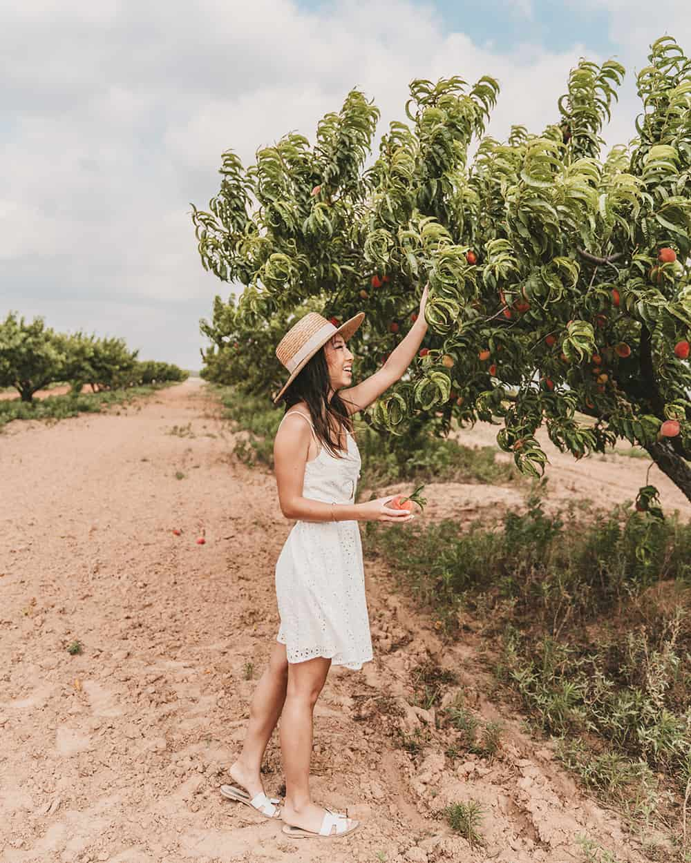 Peach orchard Gold Orchards in Stonewall Texas